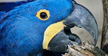 Psittacine Beak and Feather Disease