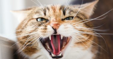 cat crying or meowing