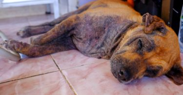 scabies in dogs