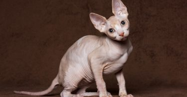 upper respiratory infection in cats