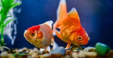 velvet in fish