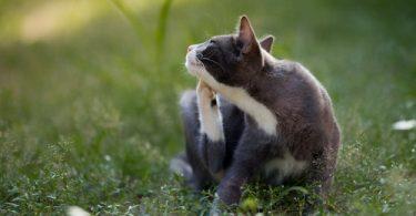 fleas on cat