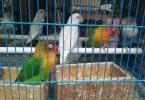 common behaviors in pet birds