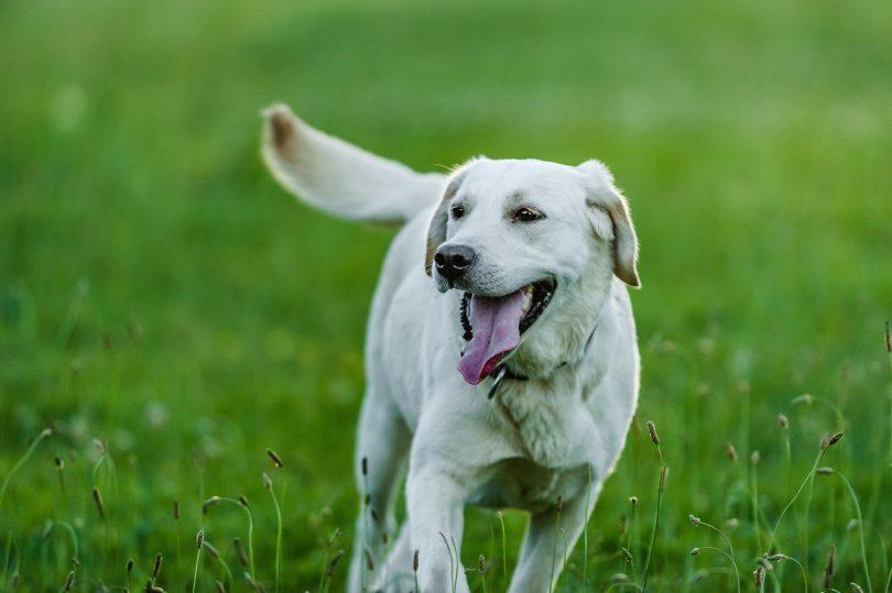are labradors a good pet for you