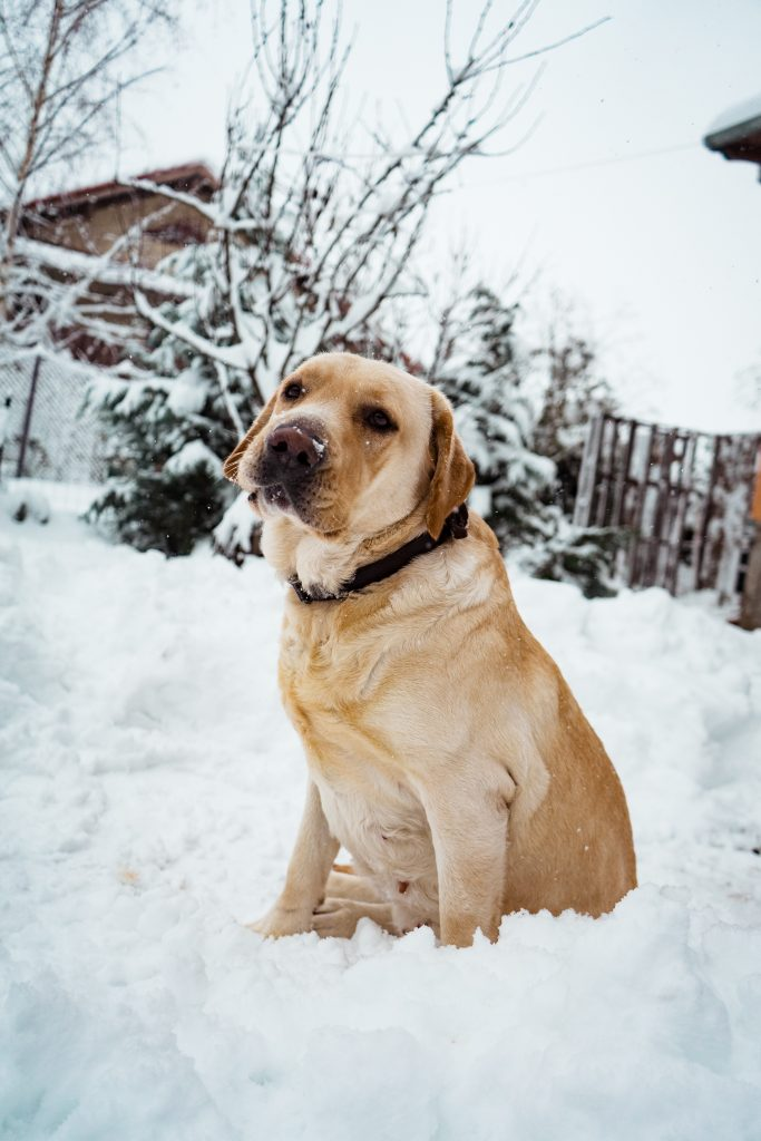 are labradors good for you?